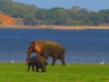 dambulla_minneriya_sloni_safari_2