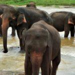 Srí Lanka, Pinnawala – Sloní sirotčinec a proč se sem (ne)vydat